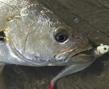 Our Mulloway Are In Peril!