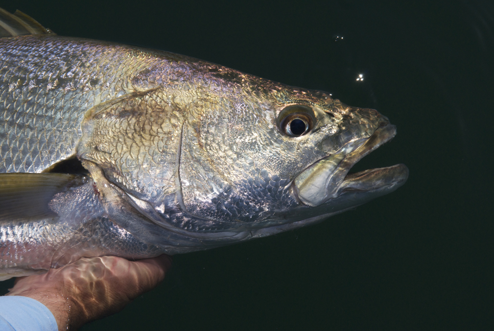 Jewfish or mulloway are an iconic species. Unfortunately, NSW stocks are in poor shape.