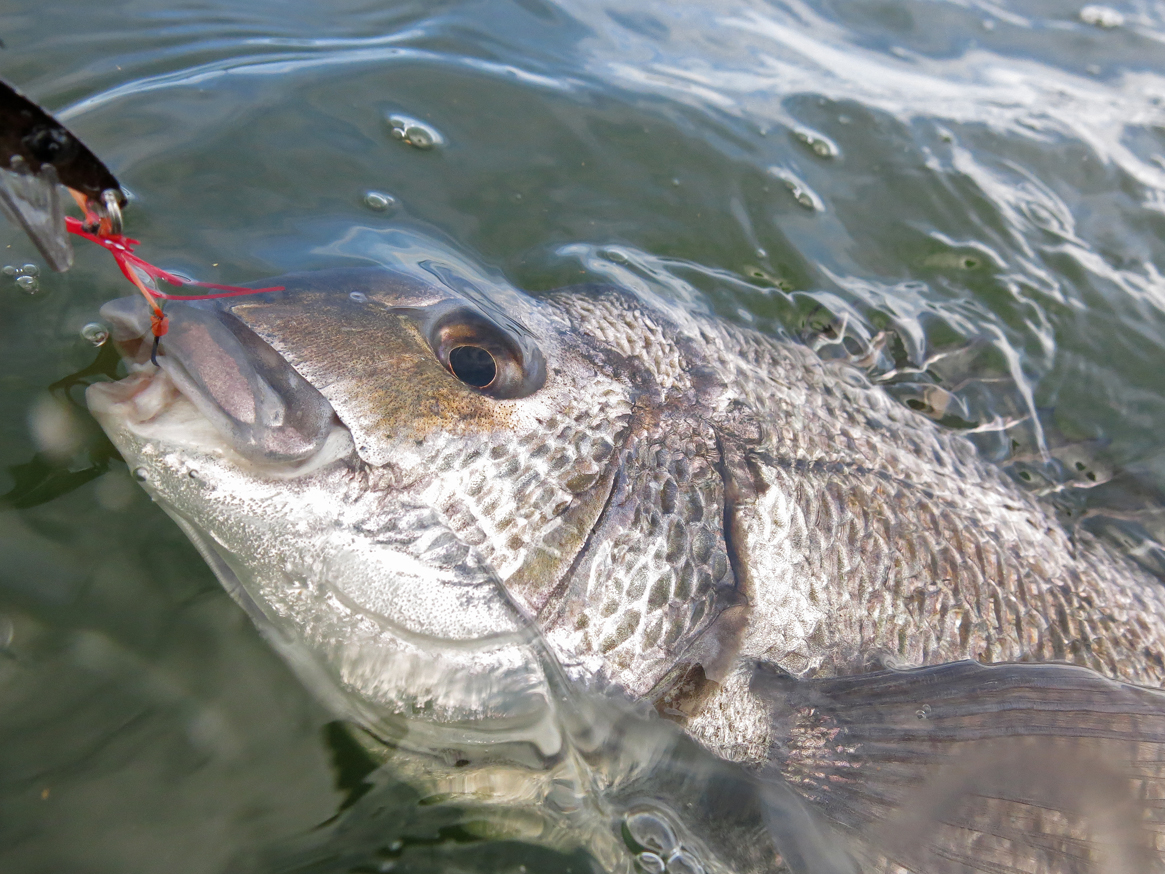 Another big, open-water bream comes to the net.