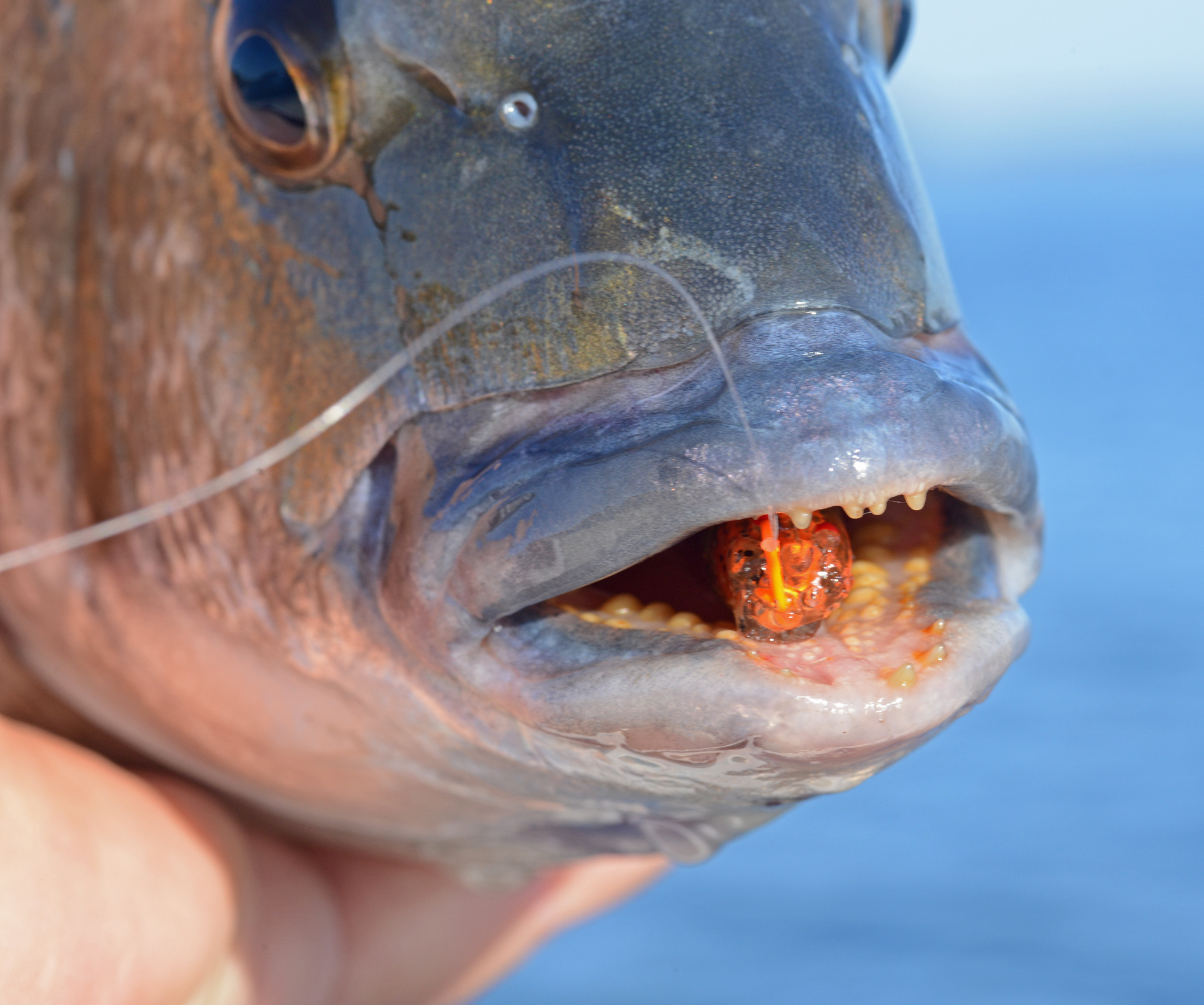 Bream have powerful jaws.