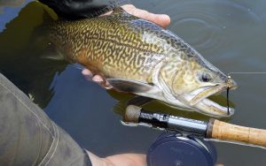 Flashy streamers and other wet flies seem to appeal most strongly to the predatory tiger trout.