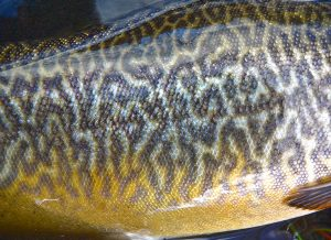 The amazing patterning of the tiger trout reminded the author of his beloved Murray cod.