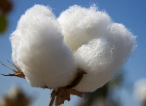 Cotton growing has a lot to answer for... but so do we for willingly consuming the end product.