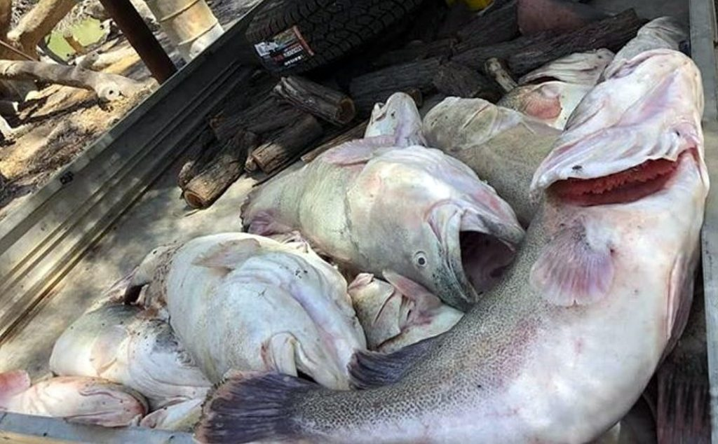"""While they're not """"100 years old"""" as some have claimed, mature cod like these represent decades of life… now lost."""
