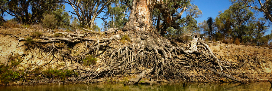 Hold on, old girl! A river red gum stands as a last line of defence against erosion on the banks of The Murray, near the South Australian/Victorian border.