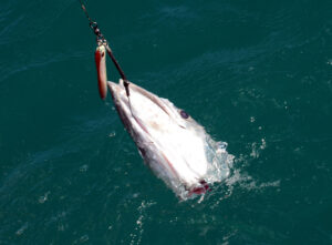 Predation of hooked and post-release fish by sharks is an increasing problem.
